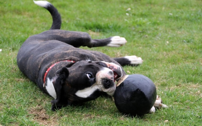 Boston terrier playing with ball on lawn, lying down and chewing on ball, cute dog picture