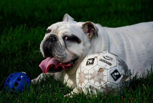 English bulldog relaxing on lawn with volleyball and toy ball